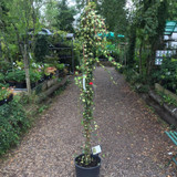 Hedera helix 'Goldheart' (Ivy) - 5ft cane