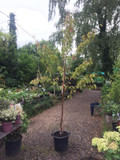 Prunus 'Sargentii' (Sargent's Cherry) 10ft