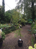 Sorbus commixta 'Embley' (Rowan) 6-7ft