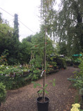 Sorbus aucuparia 'Cardinal Royal' (Rowan) 12ft