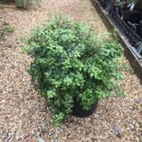 Pittosporum tenuifolium 'Golf Ball' - 10ltr