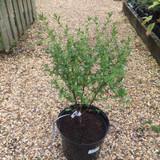 Ceanothus 'Concha' (Californian Lilac) - 4ltr