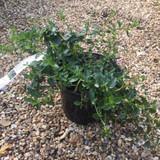 Ceanothus thyrsiflorus repens (Californian Lilac) - 3ltr