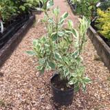 Cornus alba 'Elegantissima' (Variegated Dogwood) - 3ltr