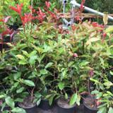 Photinia 'Red Robin - 3ltr