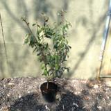 Cotoneaster cornubia - 5ltr