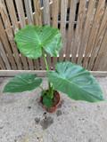 Alocasia green