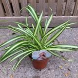 Chlorophytum  Variegated - Spider Plant