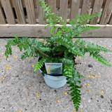 Polystichum polyblepharum 'Jade' (Fern)