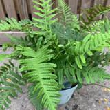 Polypodium vulgare (Fern) - 5ltr