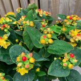 Hypericum 'Miracle Attraction'