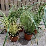 Carex Mix