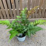 Dryopteris erythrosora (Fern) 5ltr pot