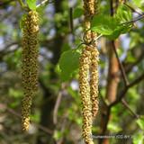 Hazel - Corylus 'Kentish Cob. 2/ 3yr tree Bareroot