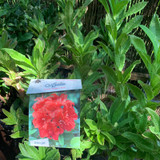 Azalea 'Koster Brilijant Red'