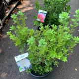 Azalea viscosa