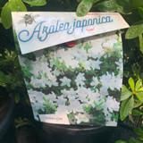 Azalea japonica 'Luzi'