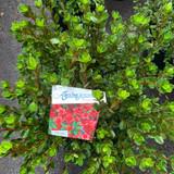 Azalea japonica 'Stewartsonian'