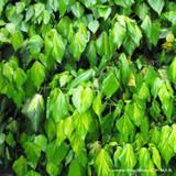 Hedera 'Paddy's Pride' - 1.4m trellis (Ivy)