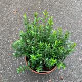 Myrtle (14.5cm pot)