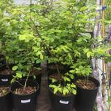 Carpinus betulus (Hornbeam) 40-60cm - 5.5ltr pot