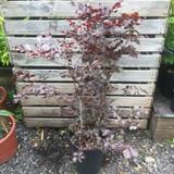 Fagus sylvatica purpurea (Purple Beech) 60-90cm 15ltr