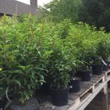 Prunus lusitanica 'Angustifolia' (Portuguese Laurel) - 5ltr