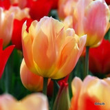 Tulip 'Apricot Beauty' - PACK of 12 bulbs