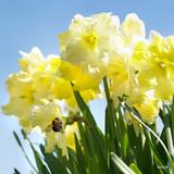 Split Corona Narcissi 'Cassata'