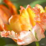 Tulip 'Apricot Parrot' - PACK of 8