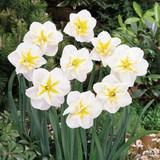 Split Corona Narcissi 'Lemon Beauty'