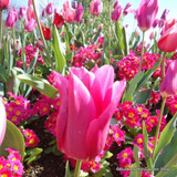 Tulip 'China Pink' - PACK of 10 bulbs