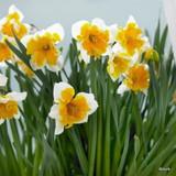 Split Corona Narcissi 'Orangery'