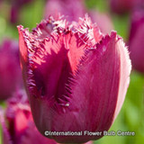 Tulip 'Curly Sue' - PACK of 8 bulbs