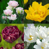 Tulip 'Mixed Double' - PACK of 8 bulbs