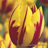 Tulip 'Mickey Mouse' - PACK of 10 bulbs