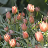 Tulip 'Little Princess' - Pack of 9 bulbs