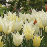 Tulip 'Tres Chic' - PACK of 11 bulbs