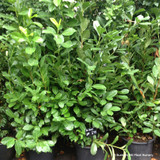 Cherry Laurel 5-6ft