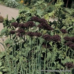 Allium 'Atropurpureum' - PACK of 3 Bulbs