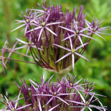 Allium Christophii - PACK of 5 bulbs