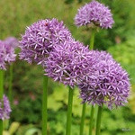 Allium 'Purple Sensation' - PACK of 5 bulbs