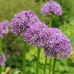 'Purple Sensation' Alliums BULK - 100 or 250 Bulbs