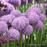 Allium 'Globemaster' -PACK of 1 bulb