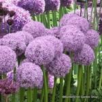 Allium 'Globemaster' BULK - 25 or 50 Bulbs