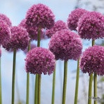 Allium 'His Excellency' - PACK of 1 bulb