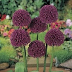 Allium 'Lucy Ball' PACK of 1 bulb