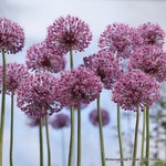 Allium 'Mars' - PACK of 1 bulb