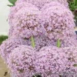 Allium 'Pinball wizard' - PACK of 1 bulb