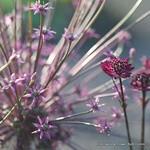 Allium 'Schubertii' BULK - 25 or 50 Bulbs